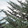 Abies fraseri, habit