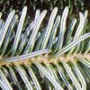 Abies fraseri, leaves