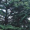 Abies grandis, habit