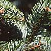 Abies nordmanniana, leaves