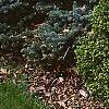 Picea abies 'Little Gem', habit
