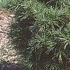 Pinus strobus 'Witches' Broom', habit