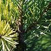 Pinus sylvestris 'Greg's Variegated', leaves