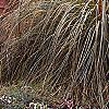 Cortaderia selloana 'Gold Band', habit