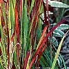 Imperata cylindrica 'Red Baron', habit