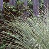 Miscanthus sinensis 'Morning Light', habit