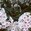 Phlox paniculata 'Miss Holland', flowers