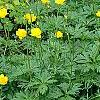 Trollius x cultorum 'Orange Globe', habit