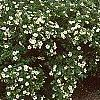 Potentilla fruticosa 'McKay's White', habit