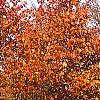 Prunus sargentii, fall color