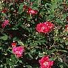 Rosa 'Knockout', habit