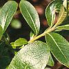 Salix gracilistyla, leaves