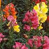 Antirrhinum majus 'Liberty', habit