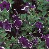 Petunia 'Merlin Blue Picotee', flowers