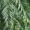 Taxus baccata, leaves