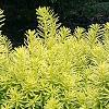 Taxus cuspidata 'Bright Gold', habit