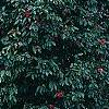 Camellia japonica 'Lady Vansittart Red', habit