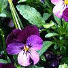 Viola cornuta 'Purple Duet', habit