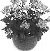 Chrysanthemum morifolium 'Esperanto Improved'