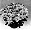 Chrysanthemum morifolium 'Nirvana Improved'
