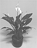 SPATHIPHYLLUM PLANT NAMED 'SWEET ROCCO'