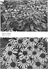 Echinacea purpurea 'Satin Nights'