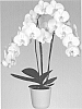 Phalaenopsis orchid plant named 'Dame Blanche'