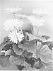 Gerbera plant named 'UFGE 7023'