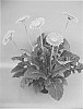 Gerbera plant named 'UFGE 7034'