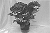 Hydrangea plant named 'Royalty'