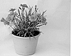 CARNATION PLANT NAMED 'KLEDG11142'