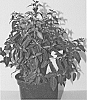Fuchsia plant named 'FWINW12-1'