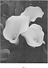 Calla lily plant named 'Hot Butter BLZ'
