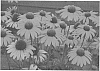 Echinacea plant named 'Dixie Scarlet'