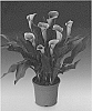 Variety of Calla Lily plant named 'Airbrush'