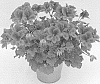 Pelargonium plant named 'KLEPS15378'