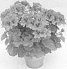 Pelargonium plant named 'KLEPS15377'