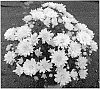 Chrysanthemum plant named 'FICHRYEVENWHI'