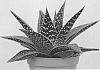 Gasteraloe plant named 'D SIGMA'