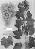 GRAPEVINE PLANT NAMED 'SUGRAFIFTYTWO'