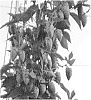 Hop plant named 'HBC 637'